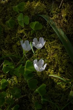 Wood Sorrel by Andy-Wood