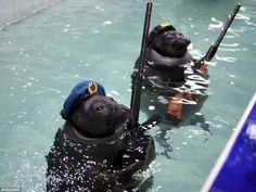 At an aquarium in Siberia, seals wore military headgear, raise a flag, carry knives in the...