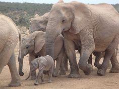 éléphants    Afrique du Sud