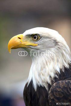 A beautiful american #white-headed #eagle