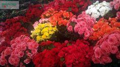 A Begônia é esta linda flor, que possui diversas cores.