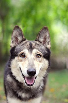 Gorgeous German Shepherd Husky... Max would've looked like this I bet...