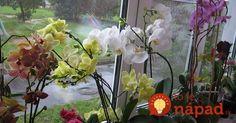 7 jednoduchých krokov, vďaka ktorým vaša orchidea čoskoro zakvitne do krásy.