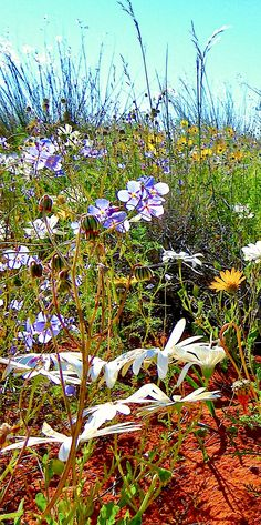 #wildflowers of the Namakwaland a very #dry area in South Africa after winter rians end of August to early September #wonderland