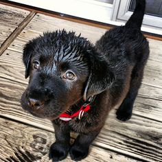 Black labs make the cutest puppies - Imgur