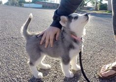pinterest-@kmeiw0 ==>http://www.amazingdogtales.com/gifts-for-siberian-husky-lovers/