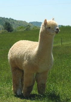 The alpaca is one of four South American camelids (mammals in the camel family) recognized today, two of which are wild species, the guanaco (Lama guanicoe) and the vicuña (Vicugna vicugna), and two of which are domesticated forms, the alpaca (Lama pacos) and the llama (Lama glama). CHUBBY LLAMA!!