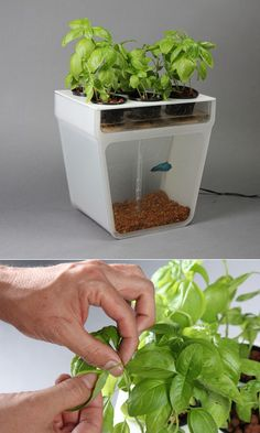 The Aquaponics Garden is a small-scale, low-hassle food growing system—or a fishtank that cleans itself, depending on how you look at it. The fish poop that fouls ordinary tanks is pumped up to the plants above, which are growing in nothing more than little pails full of pebbles; the fish excretion provides the nutrients. As a result, the user gets fresh spinach, baby greens, oregano, beans, basil, mint, parsley, thyme et cetera, no green thumb necessary.