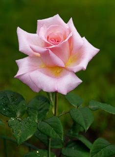 Beautiful Rose Flowers, Flowers Nature, Love Flowers, Rose Reference, Rosa Rose, Floral Tattoo Design, Rose Care, Black And White Flowers, Hybrid Tea Roses