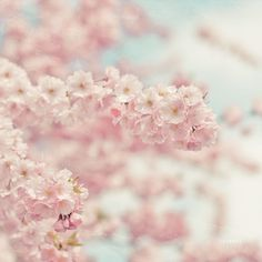 pink baby blossoms