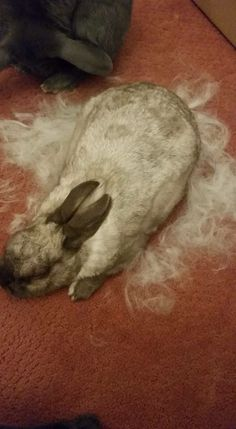 40 Best Rabbit Moulting Patterns Images Rabbit Shed