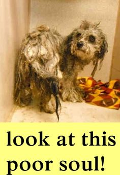 Atwater, CA ~ Animal ID #A132408 l ‒ I am a Male, Gray & Black Miniature Poodle mix. The shelter does not know how old I am. I have been at the shelter since July 28, 2015. Merced County Animal Control ‒ (209) 385-7436 2150 Shuttle Drive Atwater, CA Fax: (209) 722-3627 https://www.facebook.com/OPCA.Shelter.Network.Alliance/photos/pb.481296865284684.-2207520000.1438294550./858446707569696/?type=3&theater