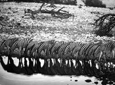 Mountain Zebras, Hoanib River Valley, Damaraland, Nambia 2005 gelatin silver print