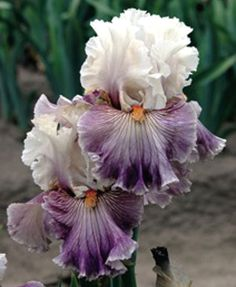 TB Iris Juicy Rumors Unusual Flowers, Amazing Flowers, Beautiful Flowers, Iris Flowers, My Flower, Planting Flowers, Dame Nature, Iris Garden, Bearded Iris