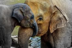 """Yes! THIS!   """"Being an 'Elephant Mom' in the Time of the Tiger Mother""""  It's okay for parents to nurture, protect, and encourage their children, especially when they're very young. A moving and connecting article by Priyanka Sharma-Sindhar."""