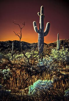 Thesaguaro(Carnegiea gigantea) is a large tree-sized species, which can grow to be over 20 meter (~70 ft) tall. It is native to theSonoran Desertin theU.S. stateof Arizona, theMexicanstateofSonora, and theWhipple MountainsandImperial Countyareas ofCalifornia.