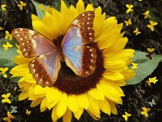 Beautiful colorful pictures and Gifs: Imagenes de Butterfly (Mariposas) Gifs Butterfly Images, Butterfly Wallpaper, Butterfly Flowers, Beautiful Butterflies, Beautiful Flowers, Dank Gifs, Gif Animated Images, Gif Bonito, Devin Art