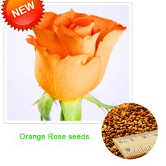 Promotion!Orange Rose Seeds Rare Patio Potted Flowering Plants Rose Seeds Perennials 100 Pieces/Pack,#AK1LFN