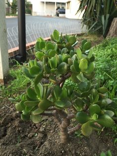 Jade Plant (crassula species): Your plant is likely a variety of jade plant, Crassula species, a popular succulent. Grows well indoors in bright indirect light or outdoors in full or partial sun, but does not tolerate freezing temperatures. As a plant water when the soil feels dry down to the first knuckle. Do not over-water. It typically flowers in late winter/spring season. If in a container, make sure the container has drainage holes. Do not allow plant to sit in water as this may lead to…