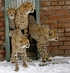These cheetahs look ever so confused by all the cold, wet, white stuff covering the ground. Winter is very different on the African savanna.