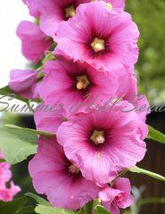 Alcea rosea Henry Eight Pink  This new variety sports tall, 72 inch stems that are covered in large, 6 inch, saucer-shaped blooms. Weather resistant and multi-stemmed, this hollyhock delivers and adds loads of color and interest to the garden. Hardy to zone 4. Pkt. 25