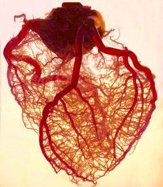 Human Heart, no Fat, no Muscles, only primary veins (Angel).