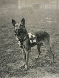 (Belgian Shepherd Dog) Trained for Work as a French Red Cross Dog