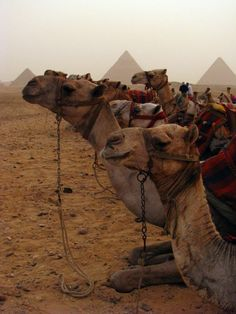 Egypt Desert Safari , camels at Giza http://www.maydoumtravel.com/egypt-desert-safari-tour-packages/4/1/21