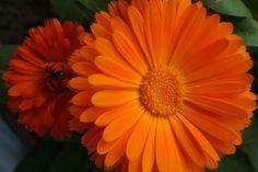 Octobers Birth Flower - Calendula (Marigold)
