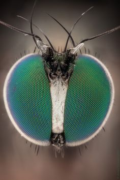 Long Legs and Green Eyes, # Arthropods # Green # Length - Tiere & Lebensstil Beautiful Bugs, Amazing Nature, Long Legged Fly, Insect Eyes, Micro Photography, Levitation Photography, Exposure Photography, Water Photography, Abstract Photography