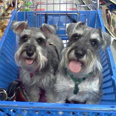 Happy little mini Schnauzers at Petsmart! Toby and Daisy.❤️
