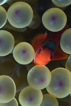 Anemone fish - Taken in Raja Ampat
