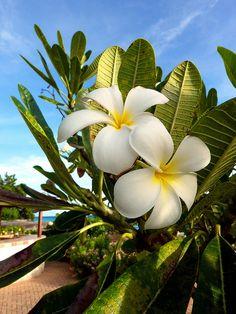 Frangipani ~ Brighton Beach, Bridgetown, Saint Michael Parish, Barbados....