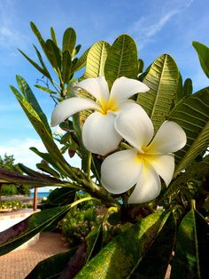 Frangipani ~ Brighton Beach, Bridgetown, Saint Michael Parish, Barbados....