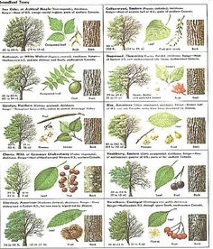 Identify trees with pictures - I like that this includes several views, including the bark of trees, leaves leaf chart Trees And Shrubs, Trees To Plant, Conifer Trees, Garden Trees, Garden Plants, Tree Leaf Identification, Tree Study, Forest School, Tree Leaves
