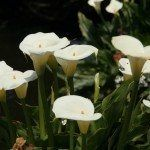 How To Deadhead Calla Lily - Information On Deadheading Calla Lilies