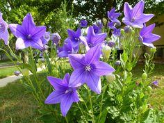 Le platycodon est une plante vivace qui fleurit en été : conseils de plantation, de culture et de semis.