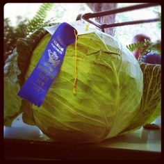 Blue ribbon winning biggest cabbage at the Minnesota State Fair.  Must be 20+ lbs.  Wow.  From One tomato, two tomato.
