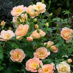 traditional landscape by Proven Winners, Oso Easy Peachy Cream Landscaping With Roses, Landscaping Plants, Landscaping Design, Rose Diseases, Ronsard Rose, Rose Varieties, Simple Rose, Easy Rose, Growing Roses