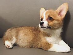 Corgi, Puppies, Pets, Animals, Pet Dogs, Corgis, Cubs, Animales, Animaux