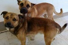 URGENT! PLEASE HELP OTTO & FLETCHER ASAP!!!! RESCUE NEEDED! GASSING SHELTER FULL!!! PA/WV...2824-Otto & Fletcher- 2-3 yrs-males -THEY  ARE IN A RURAL GASSING SHELTER IN BECKLEY WEST VIRGINIA- TRANSPORT IS AVAILABLE FOR APPROVED OUT OF STATE ADOPTIONS. PLEASE CONTACT ME FOR DETAILS, PLEASE VIEW ALL DOGS/PUPPIES ON THEIR FACEBOOK LINK BELOW...