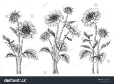 Find Black White Sunflower Botanical Illustration Vintage stock images in HD and millions of other royalty-free stock photos, illustrations and vectors in the Shutterstock collection. Sunflower Drawing, Watercolor Sunflower, Sunflower Tattoo Design, Watercolor Flowers, Line Art Flowers, Flower Art, Flower Crafts, Sunflowers And Roses, Abstract Template