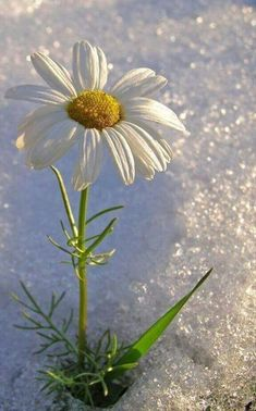 ⚘ Daisy in the Snow . Happy Flowers, Flowers Nature, Beautiful Flowers, Little Flowers, My Flower, Flower Power, Sunflowers And Daisies, Daisy Love, Arte Floral