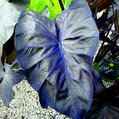 """Colocasia """"Black Coral"""" Elephant ear plant, front yard tropical area."""