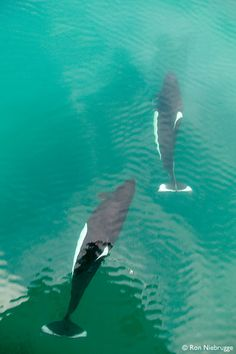 Dall's Porpoise in Aialik Bay, Kenai Fjords National Park, Alaska - they look like Orcinas Orca to me, but what would i know??? lol     tjn
