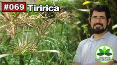 Cyperus rotundus - Tiririca [AVC, câncer, anti-alérgico, febre, colesterol]