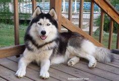 Siberian husky Nick