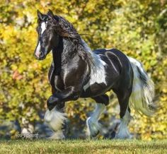 Stillwater Farm: Our Horses - Gypsy Vanner Horses - Cashiers, North Carolina