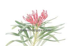 Monga Waratah print - Telopea mongaensis