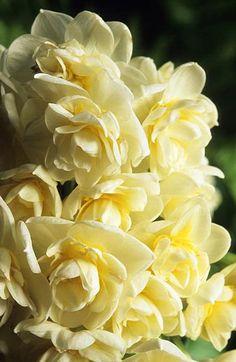 Narciso Narcissus 'Earlicheer' Fotografia de John Glover, uno de los primeros y de los mas importantes fotografos de jardin del Reino Unido